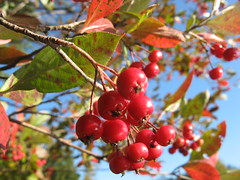 Wild berries Photo
