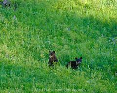 Bear Cubs (M@ H) Tags: grass animals nationalpark wildlife bears yellowstone cubs creatures mammals