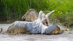 War (Andrew Haynes Wildlife Images) Tags: bird nature fight wildlife norfolk nwt swans cleymarsh ajh2008