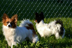 Cody and Maxx (Pappup2010) Tags: dog pet white black cute animal puppy small tan sable ears canine papillon tricolor pup pap toybreed  butterflydog whiteandsable