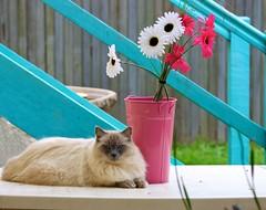 Indy visiting the neighbours (Deb Jones1) Tags: blue pet pets macro beauty animals cat canon 1 jones eyes kitty explore deb ragdoll flickrduel debjones1