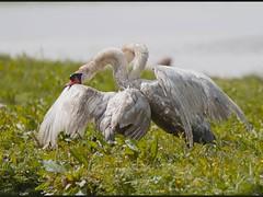 War the slide show (Andrew Haynes Wildlife Images) Tags: nature birds fight wildlife norfolk swans violence cleymarsh ajh2008