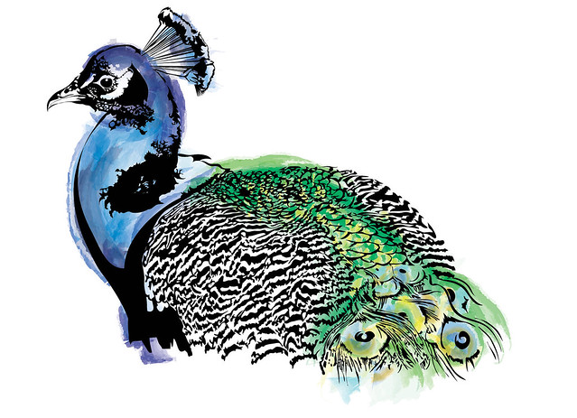 Indian Peafowl • Pavo Cristatus