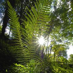 Ferns (Hazel Mansell-Greenwood) Tags: sunburst ferns plymbidge