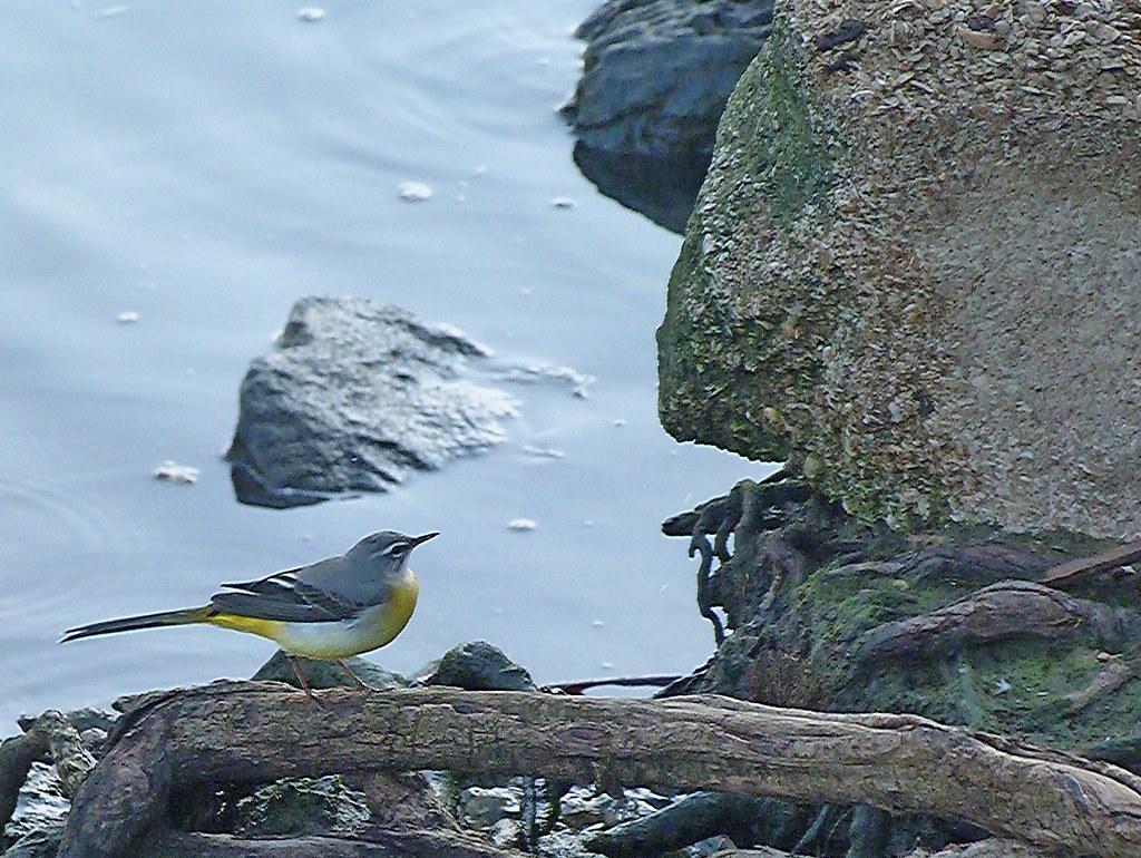 15-10-2011-yellow-wagtail3