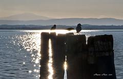 ACCADE SUL ... TRASIMENO (mauro855) Tags: lago italia perugia paesaggi gabbiani umbria trasimeno panorami 2011 nikond60 sfeliciano mauronizzi