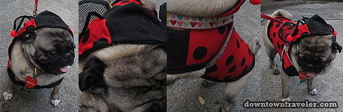 Tompkins Park Halloween Dog Parade_Pug as Ladybug