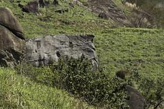 Foto 3  -  Trecho do Parque Estadual do Graja - RJ (Marcus Vinicius Lameiras) Tags: nature brasil de photo flickr marcus natureza fotografia vinicius falcofemoralis aplomadofalcon falcodecoleira mavila lens100400mm canon7d lameiras parqueestadualdograja pedradoperdido