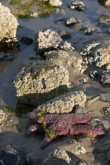 Coast Trip 2011 — 269 (ntisocl) Tags: vacation seaweed beach water oregon starfish roadtrip pacificocean oregoncoast lowtide cannonbeach haystackrock tidepools seaanemone 2011 canonef70200f28lisusm canon1dmarkiii