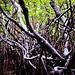 Mangroves-7