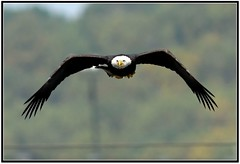 Bald Eagle in Flight [Explored] (Mark Schwall) Tags: fish fishing birds birdsofprey flight baldeagle harfordcounty maryland conowingodam manualfocus avianexcellence bravo birdperfect