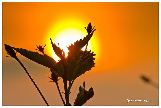 Sun flower............