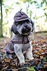 Sherlock Hound (Kirstyxo) Tags: dog cute halloween happy costume woods teddy adorable teddybear sherlockholmes sherlockhound doghalloweencostume dogincostume