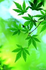 Momiji (Dalang55555) Tags: autumn tree green season leaf maple momiji   img4307