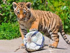 [フリー画像素材] 動物 1, 虎・トラ, サッカー, ボール ID:201111041000