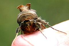 Moth-2nd view (jacki-dee) Tags: autumn plant fall oregon portland id moth bark horticulture identify horned biloba looper owlet washingtoncounty owletmoth bilobedloopermoth barklike bilobedlooper megalographabiloba bilobed interestgroup megalographa