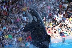 One Ocean (Seals4Reals) Tags: world ocean show park sea one orlando florida killer theme whale orca seaworld shamu orcinus