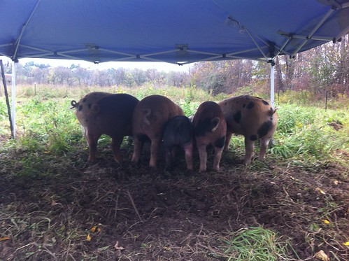 Happy pigs at breakfast