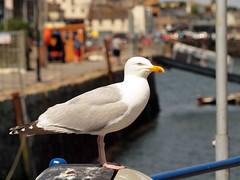 Falmouth Herring Gull (saxonfenken) Tags: bird dof gull falmouth 104 herringgull friendlychallenges storybookwinner pregamewinner gamesweepwinner falmouthe30 104bird