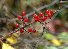 Plants along Emerald Lake Shoreline trail. (cactfyl) Tags: red canada berries bokeh britishcolumbia yoho bokehwhore canadianplantsflowersfruits emeraldlakeshorelinetrail