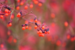 Sweet November (affinity579) Tags: november autumn red fall nature colors fruit nikon colorful colours berries bright quebec bokeh burningbush 105mm euonymusalatus coth d700