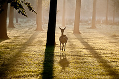 escape... (d_oracle) Tags: morning forest sunrise jump run deer bambi hert
