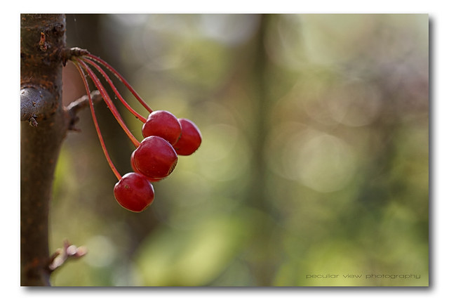 Little red fruit of autumn