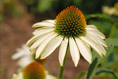 White Cone Flower (Lerxst Ohio) Tags: orange white flower macro green nature colors yellow nikon dof echinacea bokeh coneflower macrolens coxarboretum montgomerycounty d80 sigma50mmf28 45449 nikond80 fiveriversmetroparks miamitownship coxarb hollyannsmith photobyhollyannsmith