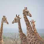 "Giraffes <a style=""margin-left:10px; font-size:0.8em;"" href=""http://www.flickr.com/photos/14315427@N00/6346463245/"" target=""_blank"">@flickr</a>"