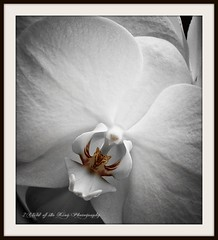 MERCY ~ is the deepest gesture of kindness. (Child of the King Photography) Tags: white orchid allrightsreserved gardencenter lejardindesdélices fleursetpaysages ©2011childofthekingphotography