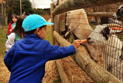 SHO - Nicholas Feeding Goats