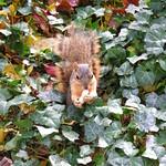 156/365/1251 (November 14, 2011) – Squirrels at the University of Michigan in Autumn thumbnail