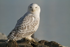 Great snowy white owl (Eyesplash - the new slow way) Tags: bird water vancouver canon eos flying inflight log sitting birding feathers raptor shore 7d owl hunter midair resting ornithology markings impressive birder meateater thewonderfulworldofbirds greatsnowywhiteowl