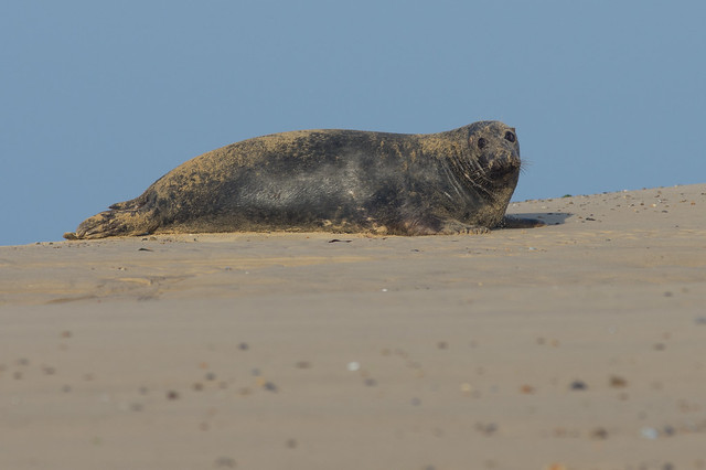 blakeney grey seal on sand bank