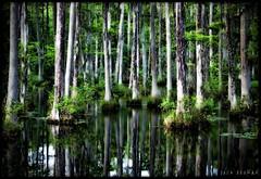 Cypress Gardens, Charleston SC (Jack Beaman) Tags: charleston swamp cypressgardens tpslandscape