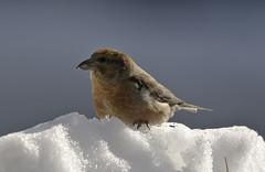 A REAL Snowbird (martytdx) Tags: male birds birding january nj immature longbranch sevenpresidentspark redcrossbill coldashell loxiacurvirostra loxia crossbills fingillidae