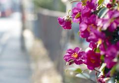 Fuchu-si, Tokyo (ymtrx79g ( Activity stop)) Tags: plant color slr film japan analog canon tokyo olympus 35mmfilm fujifilm  135  canoneos650     olympusomzuiko85mmf2 fujicolor100 201102blog fuchusi