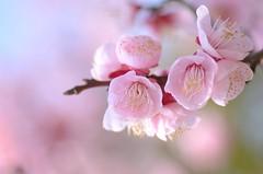 plum blossoms ~fluffy~ (snowshoe hare*(away-pc problem)) Tags: flowers nature botanicalgarden  plumblossoms japaneseapricot  dsc6377   prunusmumevarbungo
