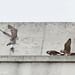 Peregrine feeding time Nottingham 2011 Nottswt (cpt Sean Browne)