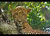 (Sara-D) Tags: cats nature animals forest asia wildlife sl sri lanka leopard srilanka ceylon lk bigcats yala wildcats wildanimals southasia sarad panthera pantherapardus mamals pardus srilankaleopard saranga pantheraparduskotiya kotiya predetors sarangadevadealwis sarangadeva