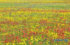 Stunning spring Texas wildflowers (steven..ng) Tags: red yellow texaswildflowers basketflower guadalupecounty phloxflowers bluebonnetflower crowntickseed coreopsisnuecensis nikond300s indianpainbrushflower groundselflowers spritofaggieland