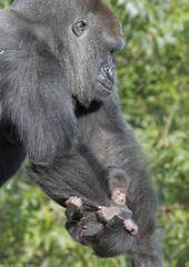 Lowland gorilla 'Salome' and her infant (2) (gentle lemur) Tags: bristolzoo gorillagorillagorilla