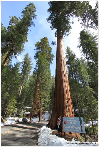 Surrounded by Giant Sequoias at Yosemite National Park, California