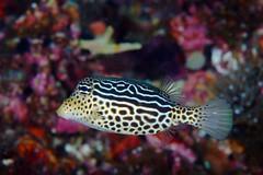 Boxfish (PacificKlaus) Tags: ocean underwater philippines scuba diving cebu malapascua marinelife
