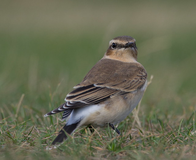 wheatear afternoon 300mm 8