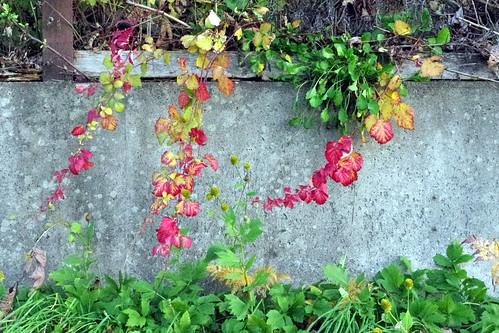 野いちごの紅葉