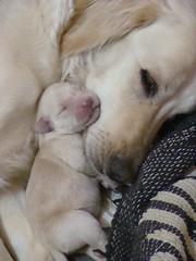 Gostosura! (fabriciabarcelos) Tags: goldenretriever cachorro