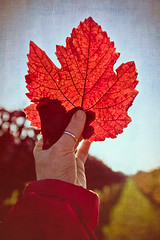 Catching Autumn (laura_bostonthek) Tags: autumn red fall leaves leaf vineyard hand wine grape wein weinbergen