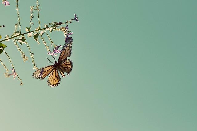 soaring butterfly