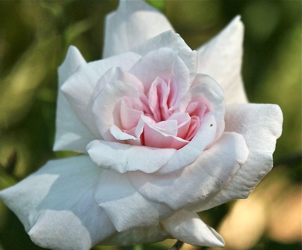 Autumn Rose